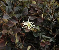 Piedmont Carolina Nursery  » Blog Archive   » Loropetalum chinense 'sPg-3-002′ Ruby Snow™