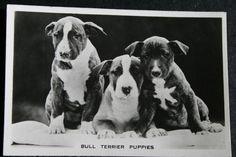 Bull Terrier Puppies   Vintage Black & White Photo Card   VGC