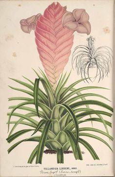 Tillandsia cyanea - circa 1869