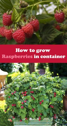 Learn how to grow raspberries in pots.➜ Growing raspberries in containers allow this big, sweet and juicy berries to grow in smallest of spaces. Gardening Raspberries, Growing Raspberries, How To Plant Raspberries, Strawberries, Raspberry Plants, Raspberry Bush, Raspberry Tree, Container Gardening Vegetables, Container Plants