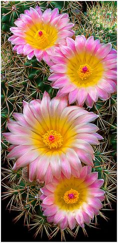 Cactus Flowers (Notocactus roseoluteus) ~ By Richard Reynolds