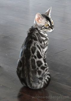 Outstanding silver charcoal bengal cat born at home!! More photos of our cats and available kittens at http://www.wildnsweetbengals.com