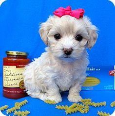 Irvine, CA - Poodle (Miniature)/Cockapoo Mix. Meet Valentina a Puppy for Adoption.