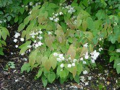1 Epimedium Grandiflorum Clay tolerant Groundcover TCM Medicinal perennial plant