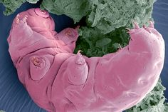 Coloured scanning electron micrograph (SEM) of a tardigrade (Macrobiotus sp.), or water bear. This tiny invertebrate lives in aquatic and semi-aquatic habitats such as lichen and damp moss. Magnification: when printed at 10 centimetres wide. Electron Microscope Images, Scanning Electron Micrograph, Dna, Moon Bear, Microscopic Photography, Cute Nicknames, Micro Photography, Microscopic Images, Macro And Micro