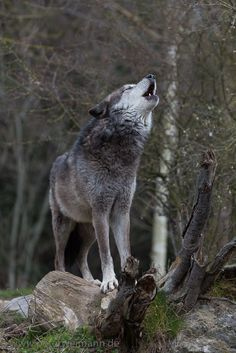 To plant a garden is to believe in tomorrow — wolveswolves: Eastern timber wolf (Canis lupus...