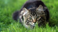 If you have a cat, you may have noticed their preference for munching grass and might wonder why do cats eat grass? Find out more about this behaviour here. Outdoor Cat Enclosure, Cat Pee, Outdoor Cats, Fluffy Animals, Here Kitty Kitty, Catio, Litter Box, Your Pet, Grass