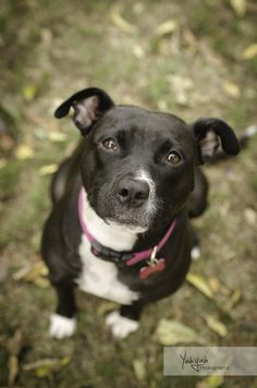 Sophie- available for adoption through Family Dogs New Life | Portland, OR