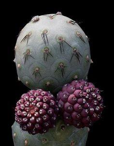 Tephrocactus geometricus.