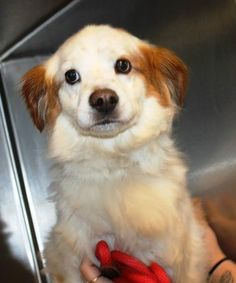 Max: Beautiful 9-year-old spaniel mix is out of time at high-kill SC shelter
