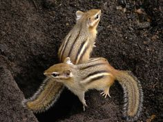 chipmunks on guard Hamsters, Rodents, Cute Squirrel, Squirrels, Beautiful Creatures, Animals Beautiful, Animals And Pets, Baby Animals, Eastern Chipmunk