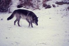 wolf wolf wolf.