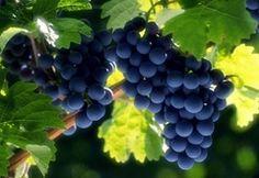 Wallpaper grona, grape, leaf, ripe, fruit