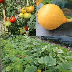 If you're thinking about starting home vegetable garden ideas for small spaces or raised vegetable garden layout on backyard. here are some ideas for you. Japanese Garden, Home And Garden, Permaculture, Growing Vegetables, Urban Garden, Potager Garden, Garden Design, Garden, Backyard