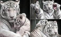 Adorable tiger cubs snuggle up to mother in touching images of the young family of rare animals at a Czech Liberec zoo Photo Slavek Ruta / REX