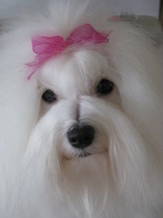 Coton de Tulear show dog- I wish I could do Holly's hair like this everyday!