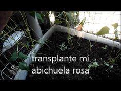 transplante mi abichuela rosa
