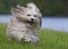 Fun to run,   Joey (Havanese) the running dog.     Wana see more funny Pics, visit==> http://humorplatform.blogspot.co.at/#