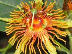 Passiflora 'Sunburst'