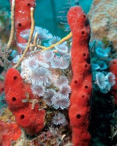 Red rope sponges,Social featherduster. Photo by Barbara Shively