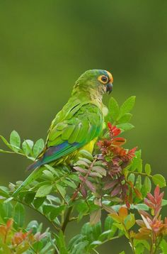 The Peach-fronted Parakeet (Eupsittula aurea is widespread and often common in semi-open and open habitats in eastern Brazil, Bolivia, Paraguay, far northern Argentina and southern Suriname.