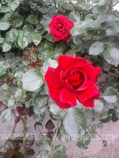 trandafir6