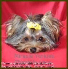 Yorkshire Terrier Dog and Puppy Dog Breeders Website Listings at PuppySites.Com #yorkshireterrier #yorkshireterrierpuppy