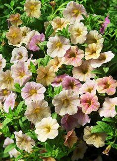 Calibrachoa 'Million Bells Antique Rose'