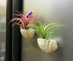 Colorful Mexican Air Plants In SMALL Sea Shell by AirPlantStudio