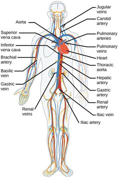 sphenoid bone, superior view with labels - axial skeleton visual, Sphenoid