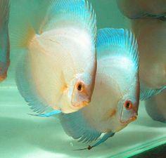 Nice Pair, Blue Diamond Discus Fish.