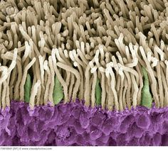 Retina. Coloured scanning electron micrograph (SEM) of rods (yellow) and cones (green) in the retina of the eye. The outer nuclear layer is purple. Magnification x1800 when printed at 10 centimetres wide