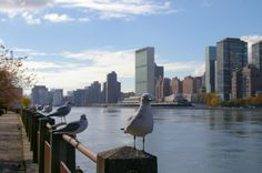 NYC. Seagulls in Roosevelt Island in front of Manhattan East Side