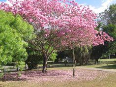 Tabebuia, Pink Trumpet Tree