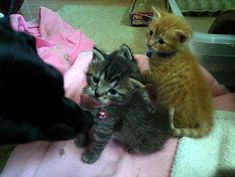 Stray Cat Gave Birth to 7 Kittens and Dog Decides He Will Be Their New Dad
