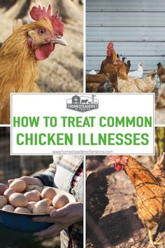 The reality is that sick or hurt chickens can happen to just about anyone. Of course, there are certainly things you can do to prevent illness and mishaps. Let's take a look at some of the common chicken illnesses and ailments, and also, how to treat them effectively. #homesteading #selfsufficiency #chickens #backyardchickens Meat Chickens, Raising Chickens, Chickens Backyard, Chicken Illness, Modern Homesteading, Hen House, Sick, Prepping, Survival
