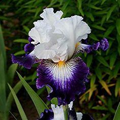 My favorite Iris - Dancing Star.  Love it!!!