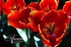 Tulips of İstanbul