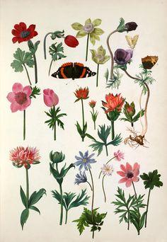 Pieter van Kouwenhoorn -- Anemone coronaria cultivars -- Composites -- View By Flower -- RHS Prints