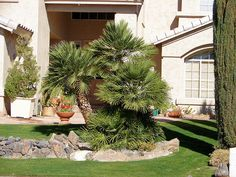 Mediterranean Fan Palm, Chamaerops humilis. Also Called European Fan Palm, Windmill Palm, Blue Mediterranean Fan Palm. Xeriscape Landscape Plants & Flowers For The Arizona Desert Environment. Pictures, Photos, Images, Descriptions, & Reviews.