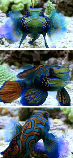 I love this fish. I saw one in a fish tank once and couldn't believe how stunning it was. Curiosa Door Dickens