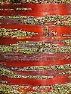 Copper red bark of the Tibetan Cherry (Prunus serrula) Wharfe Meadows, UK - ©/cc Tim Green - www.flickr.com/photos/atoach/2462757886/