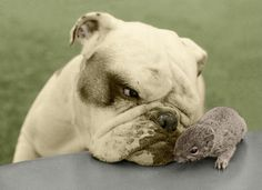 The Bulldog and Her Baby Squirrels | Susie the bulldog had recently birthed her own litter when owner Leslie Clews found three abandoned baby squirrels. He decided to take a chance to see if the squirrels would take to the dog and vice versa. Luckily, they did!
