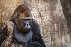 lowland silver back gorilla