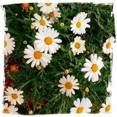 Mitt liv som Toril :o): Still going strong ☆ Heart In Nature, Felt Hearts, Wedding Flowers, Daisy, Plants, Beautiful, Boho Style, Random, Scorpio