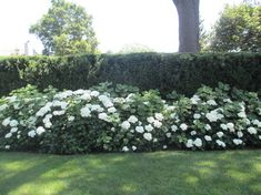 Yew hedge with hydrangeas