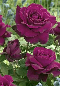Captivating And Tantalizing Maroon Rose Flowers. Beautiful Flowers Wallpapers, Beautiful Rose Flowers, Wonderful Flowers, Romantic Roses, Exotic Flowers, Pretty Flowers, Flowers Garden, Planting Flowers, Rose Fotografie