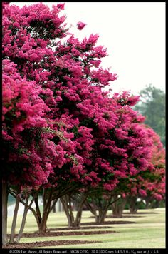 Crepe myrtles...beautiful in Texas this year. Cut first blooms off, and they will bloom again.  (if they are small enough to reach blooms)