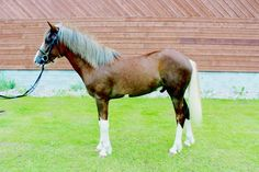 Finnhorse stallion (yearling) Hagelundin Aarre, © Liisa Jalonen. Hagelundin Aarre has been tested positive for splashed white. As this gene was found in Finnhorses, several horses have been tested for it and at least some splashed whits have been found.