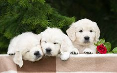 Download wallpapers golden retriever, puppies, labradors, dogs, pets, small labradors, cute dogs